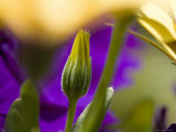 Yellow Osteospermum Bud in Front of Purple Petunias, Groton, Connecticut Photographic Print by Todd Gipstein