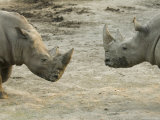 White Rhinos at the Omaha Zoo, Nebraska Photographic Print by Joel Sartore