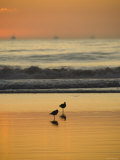 Two Sea Birds Standing in the Surf at Sunset, California Fotografie-Druck von James Forte