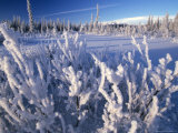 Willows Covered in Frost, Alaska Photographic Print by Michael S. Quinton