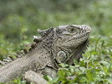 Wild Green Iguana at Los Tules Resort, Mexico Photographic Print by Rich Reid