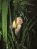 White Face Monkey, Cebus Capucinus in Tree, Costa Rica Fotografie-Druck von James Forte