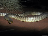 Woma Snake Coiled on a Sand Dune with Impressive Scale Banding, Australia Photographic Print by Jason Edwards