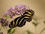 Zebra Winged Butterfly at the Lincoln Children's Zoo, Nebraska Fotografisk tryk af Joel Sartore