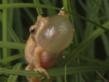 Spring Peeper Faces the Camera Calling for a Mate Photographic Print by George Grall