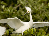 Snowy Egret Portrait Photographic Print by Tim Laman