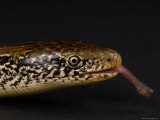 Western Slender Glass Lizard at the Zoo, Sunset Zoo, Kansas Photographic Print by Joel Sartore