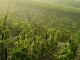Vineyards Shrouded in Fog Along the Chianti Countryside, Tuscany, Italy Photographic Print by Todd Gipstein