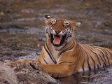 Yawning Bengal Tigress Wallows in a Mud Hole During the Dry Season Photographic Print by Jason Edwards