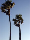 Wind Blown Palm Trees, Ventura, California Photographic Print by Stacy Gold