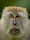 Young Male Long-Tailed Macaque in the Wild Photographic Print by Tim Laman