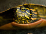 Water Turtle in Burwell, Nebraska Photographic Print by Joel Sartore