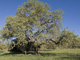 Valley Oak Tree in Spring, California Photographic Print by Rich Reid