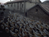 Shepherd Leads his Sheep Through the Village of Belcayez Photographic Print by James L. Stanfield
