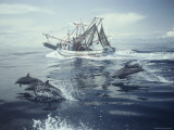 Spotted Dolphins Swim Alongside a Fishing Boat Photographic Print by Bill Curtsinger
