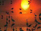 Silhouetted Wading Birds Feed in the Orange Sunset, Bombay Hook, Delaware Photographic Print by George Grall