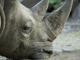 White Rhino Sniffs the Muddy Ground at the Henry Doorly Zoo, Nebraska Fotografisk tryk af Joel Sartore