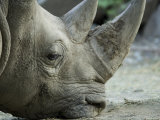 White Rhino Sniffs the Muddy Ground at the Henry Doorly Zoo, Nebraska Photographic Print by Joel Sartore