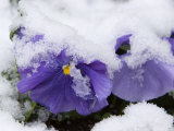 Snow on Pansies, Lexington, Massachusetts Photographic Print by Tim Laman