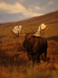 Willows Cling to Bull Moose&#39;s Antlers, Alaska Photographic Print by Michael S. Quinton