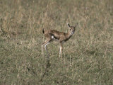 Young, Fragile and Vulnerable Thomsons Gazelle Fawn Photographic Print by Jason Edwards