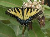 Tiger Swallowtail Sips Milkweed Nectar Photographic Print by George Grall