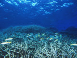 Yellowfin Goatfih, Mulloides Vanicolensis Swimming over Staghorn Coral Photographic Print by James Forte
