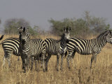Zebra Family Herd Watches Alertly, Zambia Photographic Print by Jason Edwards