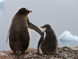 Tender Moment, Gentoo Penguins, Antarctica Photographic Print by Ralph Lee Hopkins
