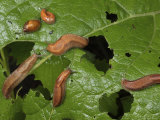 Slugs and a Snail Are Feeding on Leaves Photographic Print by George Grall