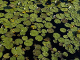 Water Lilies Floating on a Pond, Groton, Connecticut Photographic Print by Todd Gipstein