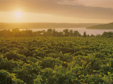 Vineyards at Sunset, Virginia Photographic Print by Kenneth Garrett