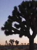 Silhouette of Joshua Trees, Joshua Tree National Park, California Photographic Print by Rich Reid