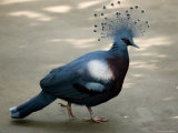 Victoria Crowned Pigeon, Asheboro, North Carolina Photographic Print by Joel Sartore