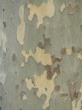 Joel Sartore - Sycamore Trees in St. Louis Fotografická reprodukce