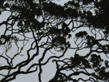 Silhouette of Interlocking Tree Branches in Rainforest, Borneo Photographic Print by Mattias Klum