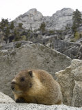 Yellow-Bellied Marmot in Tokopah Valley, California Photographic Print by Rich Reid