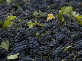 Wine Grapes Wait for Pressing in the Village of Aspiran, France Photographic Print by Bill Hatcher