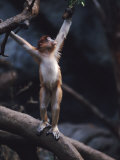 Young Proboscis Monkey Reaching for a Tree Branch in a Zoo Enclosure, Bronx Zoo, New York Photographic Print by Ira Block