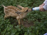 Wildlife Rescue Member Feeds a Fawn at Her Home in Eastern Nebraska Photographic Print by Joel Sartore