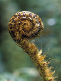 Wheke and Fiddlehead in the Peel Forest Photographic Print by Rich Reid