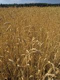Wheat Field Photographic Print by Kenneth Garrett