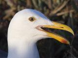 Western Gulls on Anacapa Island, California Photographic Print by Rich Reid