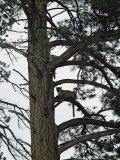 Two Mountain Lions Rest in the Ladderlike Branches of a Pine Tree Photographic Print by Dr. Maurice G. Hornocker