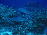 White Tipped Reef Sharks Swimming in Coral Heads Looking for Food Photographic Print by James Forte