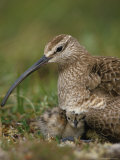 Whimbrel on Nest with Chick and Egg, Alaska Photographic Print by Michael S. Quinton