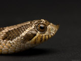 Western Hognosed Snake at the Sunset Zoo Photographic Print by Joel Sartore
