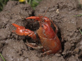 Upland Burrowing Crayfish in a Burrow Fotografisk tryk af George Grall