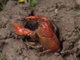 Upland Burrowing Crayfish in a Burrow Reprodukcja zdjęcia autor George Grall