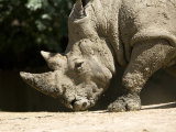 White Rhino Sniffs the Dust at the Henry Doorly Zoo, Nebraska Photographic Print by Joel Sartore